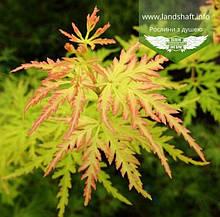 Acer palmatum 'Seiryu', Клен пальмолистий 'Сейрю',C5 - горщик 5л