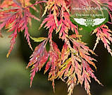 Acer palmatum 'Seiryu', Клен пальмолистий 'Сейрю',C5 - горщик 5л, фото 2