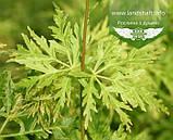 Acer palmatum 'Seiryu', Клен пальмолистий 'Сейрю',C5 - горщик 5л, фото 3