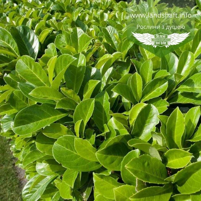 Prunus laurocerasus, Лавровишня,C2 - горщик 2л