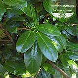 Prunus laurocerasus, Лавровишня,C2 - горщик 2л, фото 3