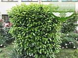 Prunus laurocerasus, Лавровишня,C2 - горщик 2л, фото 5