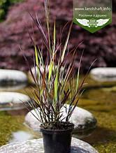 Panicum virgatum 'Purple Breeze', Просо прутовидне 'Пьорпл Бріз',C2 - горщик 2л