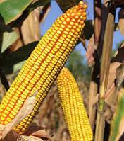 Жокари  ФАО 320, год урожая 2014