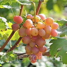 Виноград Гурман Лакомка (ранний)