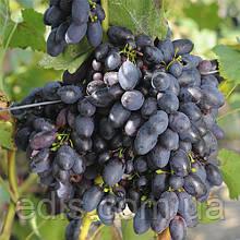 Виноград Кубань (ранний)