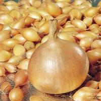 Лук севок Голиат весовой (Цена за 1 кг), Голландия