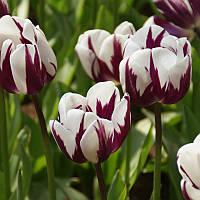Тюльпан тріумф Rem's Favourite 10/11 3 шт