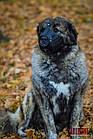 Намордник KARELINE з натуральної шкіри для мастино, кавказької вівчарки розмір L, фото 7
