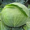 Семена капусты белокочанной ранний гибрид Алина F1, NongWoo Bio (Корея), 2500 семян