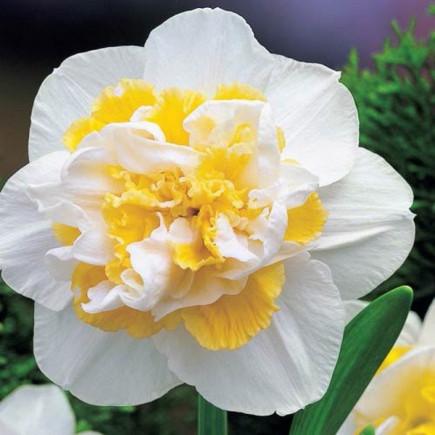Нарцисс махровый White lion 10|12, 2 шт