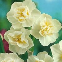 Нарцисс многоцветковый Cherfulness 10/12 2 шт, фото 1