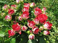 Оновлений каталог троянд!