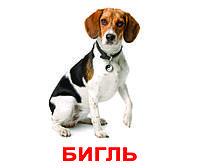 Породы собак с фактами. Карточки Домана. Вундеркинд с пелёнок
