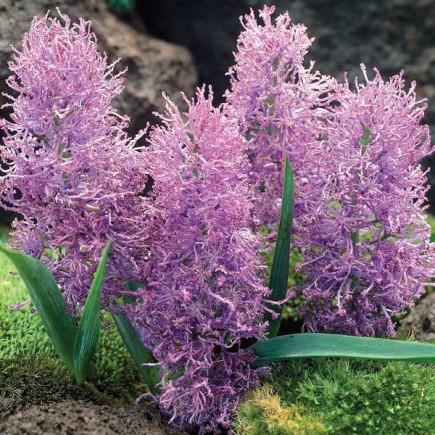 Comosum Plumosum 5 шт