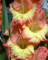 Гладиолус садовый Dandy