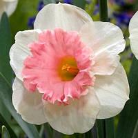 Нарцисс корончатый Rosy sunrise 10/12 , 2 шт, фото 1