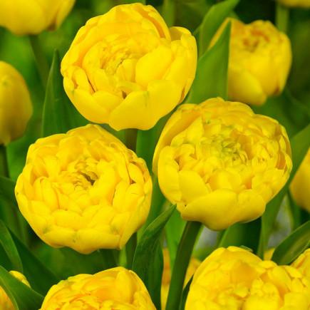 Тюльпан Yellow Pomponette махровый 10/11 3 шт