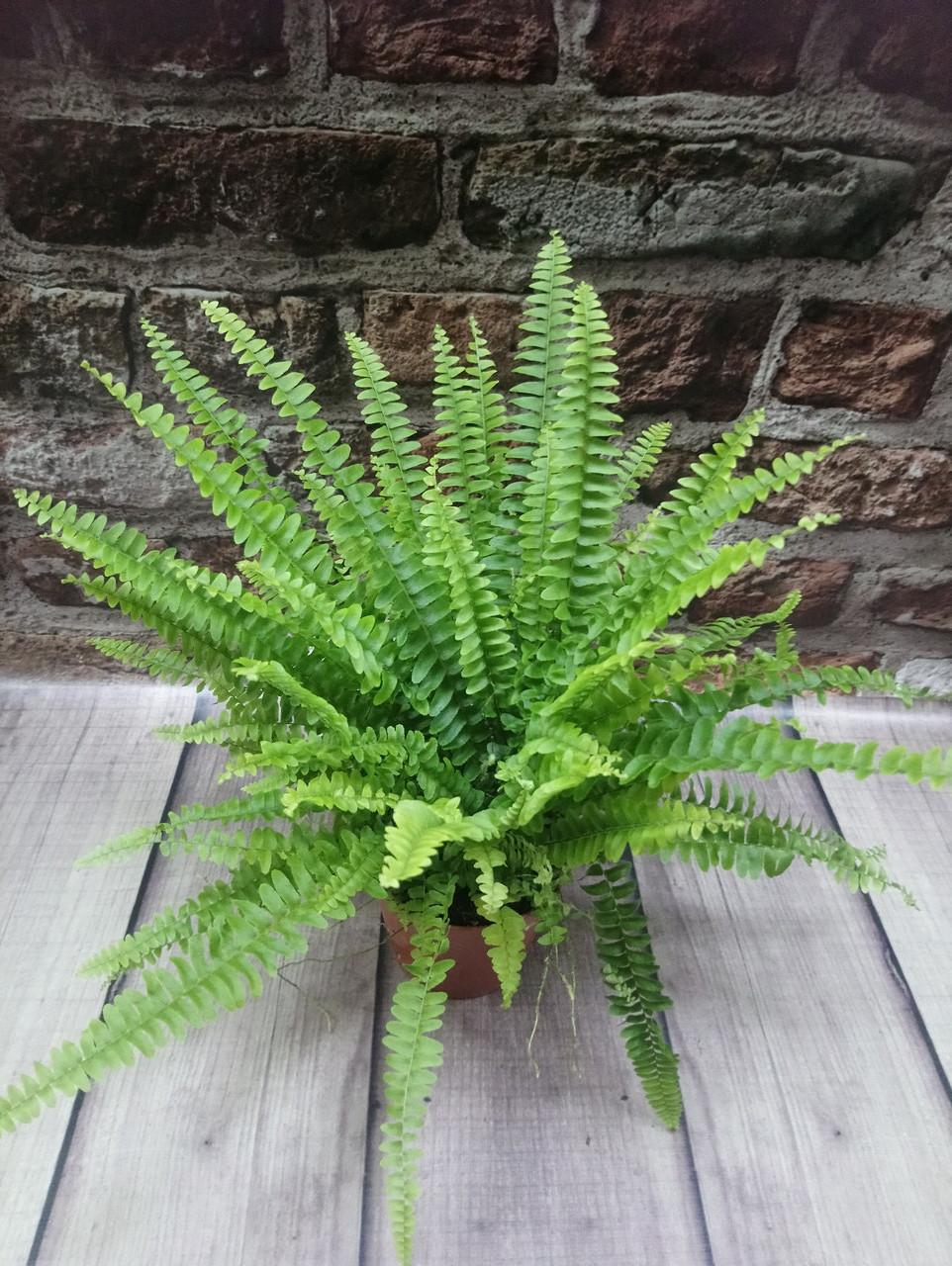 Горщечне рослина Папороть(нефролепіс)