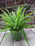 Горщечне рослина Папороть(нефролепіс), фото 3