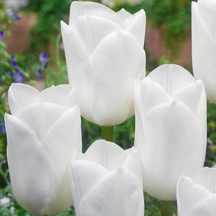 Тюльпан триумф Royal Virgin 10/11 3 шт