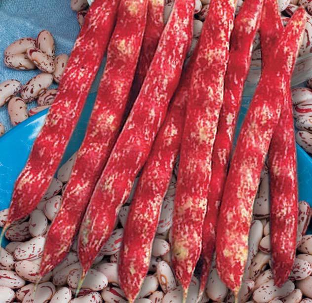 Семена Фасоль овощная  Стрегонта Италия стручок 18-20 см.