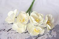Крокус весенний 72 шт/уп. оптом диаметр 2,5 см, светло-кремового цвета, фото 1