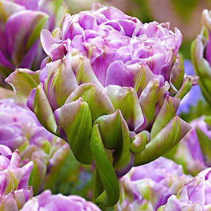 Тюльпан Violet Pranaa махровый 10/11 1 шт