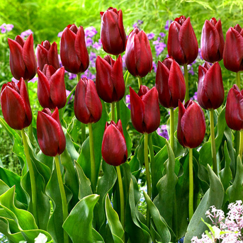 Тюльпан National Velvet 10/11 3 шт