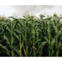 Гибрид кукурузы Амарок ФАО 220