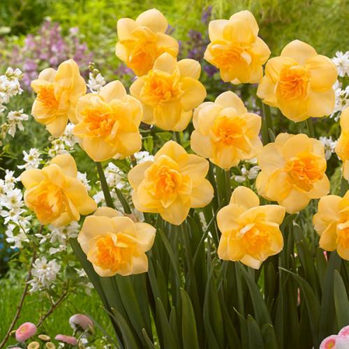Нарцисс махровый Orange Juice 12|14, 2 шт