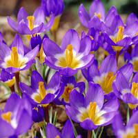 Крокус ботанический Tricolor 5/7 5 шт
