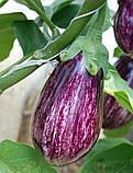 Лейре(Leire F1) насіння баклажан Rijk Zwaan, Голландія 100 шт, фото 4