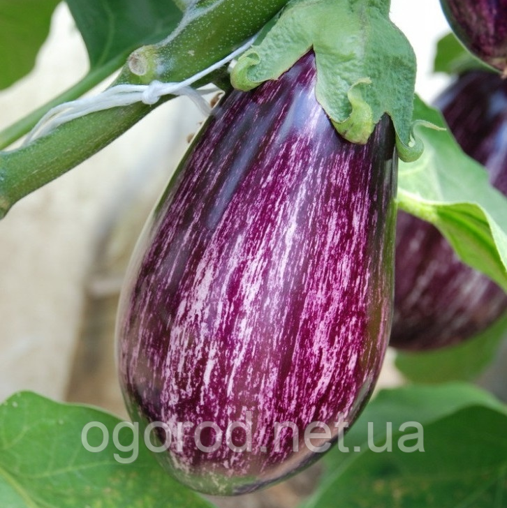 Лейре(Leire F1) насіння баклажан Rijk Zwaan, Голландія 100 шт