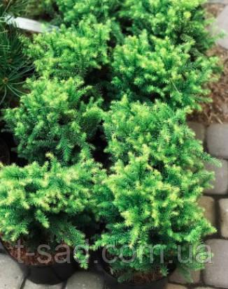 Криптомерия  japonica Vilmorin Gold' (японский кедр)