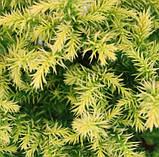 Криптомерия  japonica Vilmorin Gold' (японский кедр), фото 2