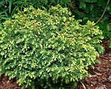 Криптомерия  japonica Vilmorin Gold' (японский кедр), фото 3
