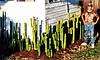"""КАКТУС """"САН ПЕДРО"""" - San Pedro Cactus (Trichocereus pachanoi)"""