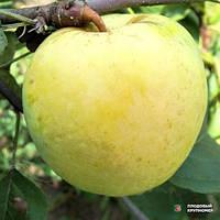 Яблоня Антоновка. Саженцы осенней яблони