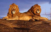 """Картина на стекле """"Lions"""""""