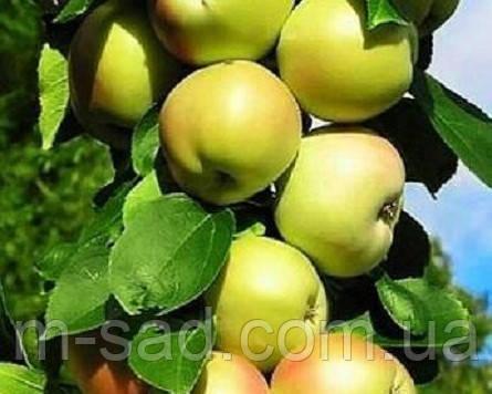 Яблоня колоновидная «Болеро»(имунный,осенний сорт)