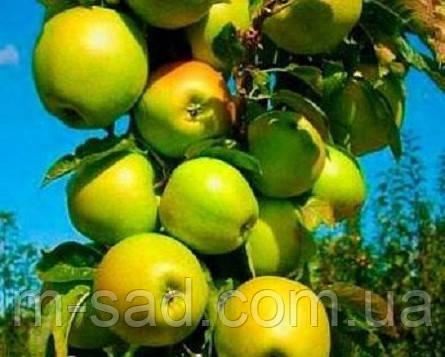 Яблуня колоновидна «Трайдент»