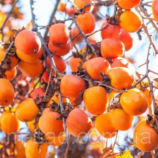 Хурма «Виргинская Крупноплодная»