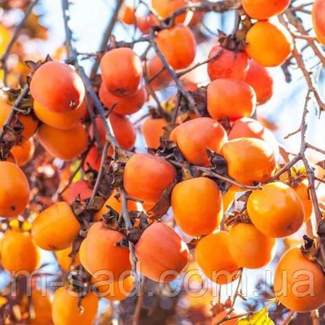 Хурма «Виргинская Крупноплодная», фото 2