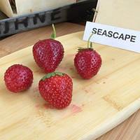 Саженцы клубники Сискейп (Seascape) - фриго рассада клубники