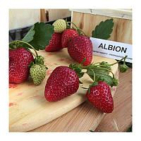 Саженцы клубники Альбион (Albion) фриго