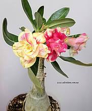 Адениум Chrysantem Terrace (взрослое растение)