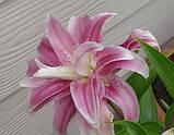 Лилия Sweet Rosy -махровая эксклюзив, фото 2