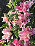 Лилия Sweet Rosy -махровая эксклюзив, фото 4
