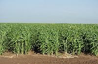Семена суданки (оптом)Полтава,Киев и вся Украина
